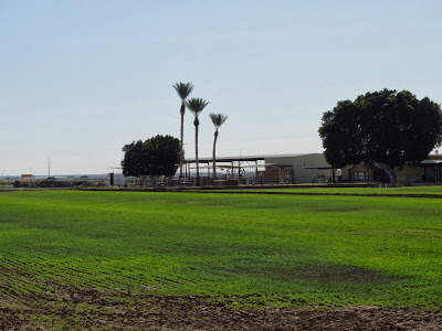 Three Date Palm Trees in the Imperial Valley