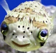 puffer Fish.txt