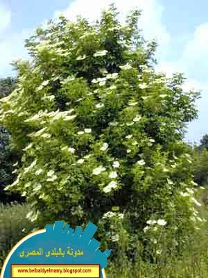 تعرف على فوائد نبات البلسان واستعمالاته واهميته الطبيه والعلاجيه