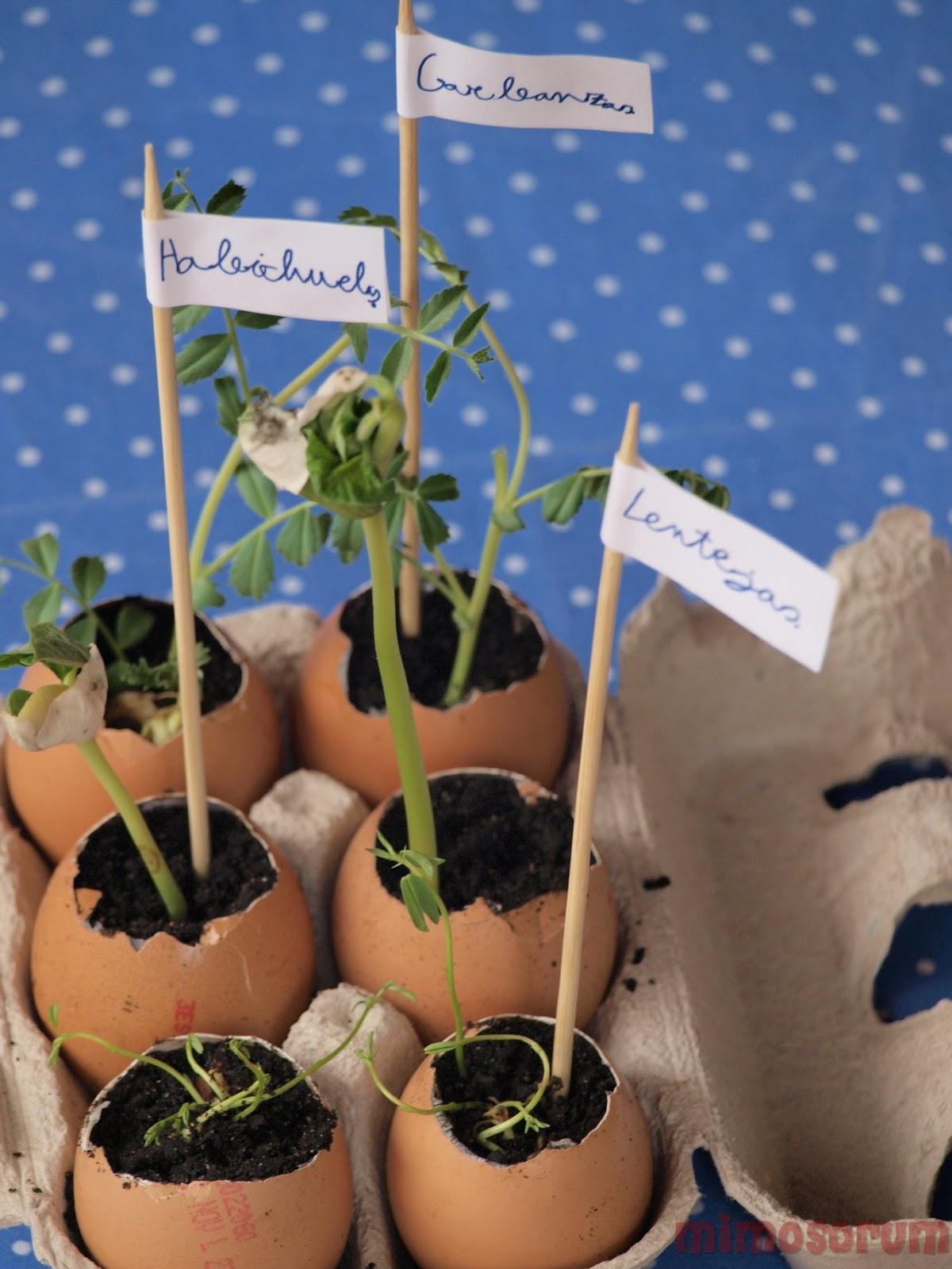 Mimosorum jardiner a para ni os germinados de legumbres - Manualidades de jardineria ...