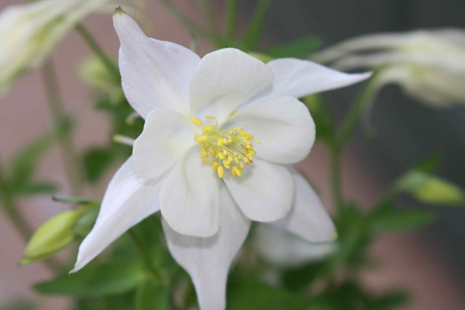 White flowers names and pictures white flowers names common names white flowers names list a pure white columbine called mightylinksfo