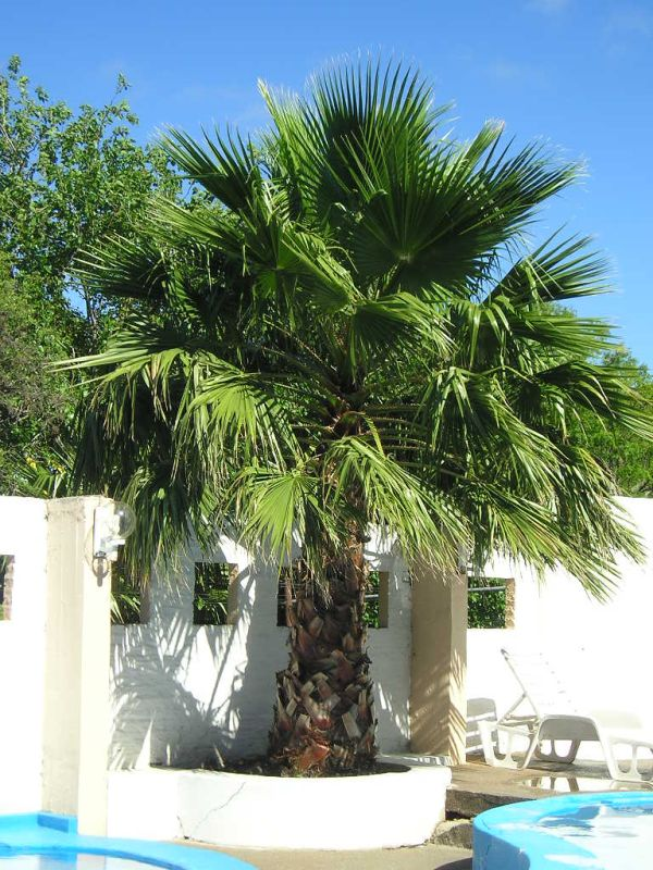 future plants by randy stewart washingtonia palms. Black Bedroom Furniture Sets. Home Design Ideas