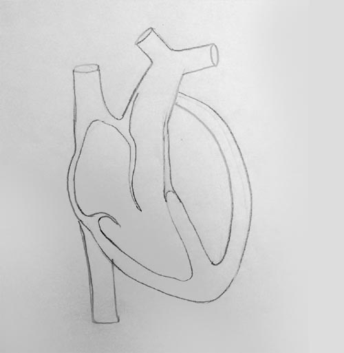 Draw it neat how to draw internal structure of mammalian heart make the muscular wall of the heart ensuring the left ventricle has thicker wall than right ventricle ccuart Choice Image