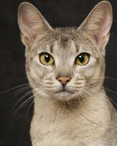Appearance and Coat colors Abyssinian Cats