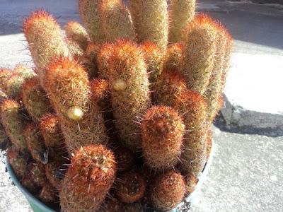 cactus mammilonga