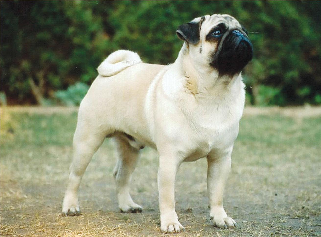 All Wallpapers: Pug Dog Hd Wallpapers