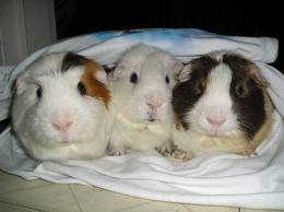 Guinea Pigs images