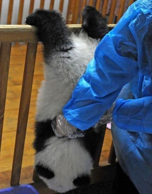 Bayi Panda Ga bisa Diem