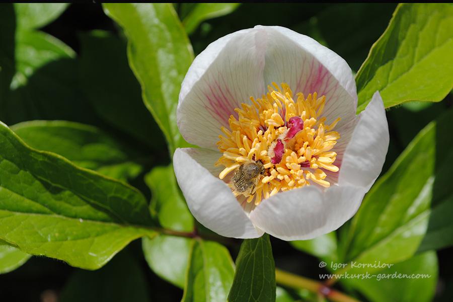 Сеянец пиона Виттмана (Paeonia wittmanniana)