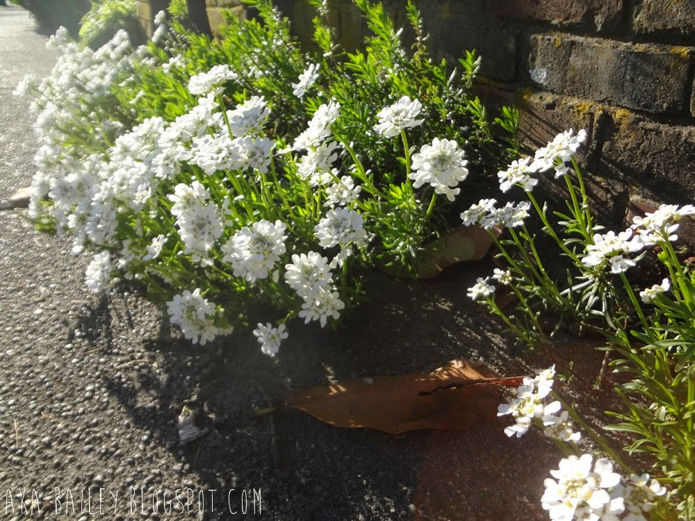 White flowers on the sidewalk