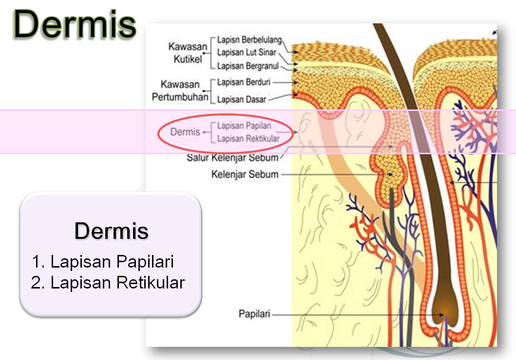 Gambar Kulit Dermis