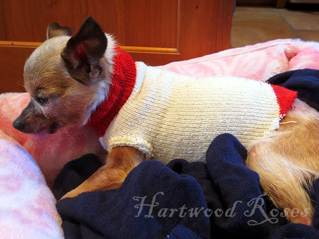 Hartwood Roses Make A Sock Into A Tiny Dog Coat