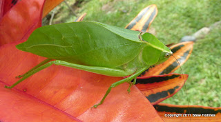 Green katydid in Costa Rica