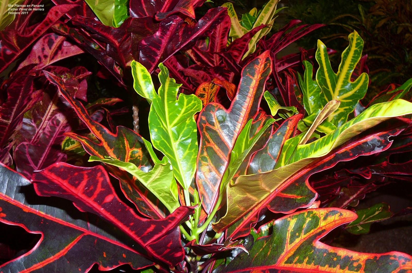 Mis plantas en panam temas relacionados for Plantas ornamentales croto