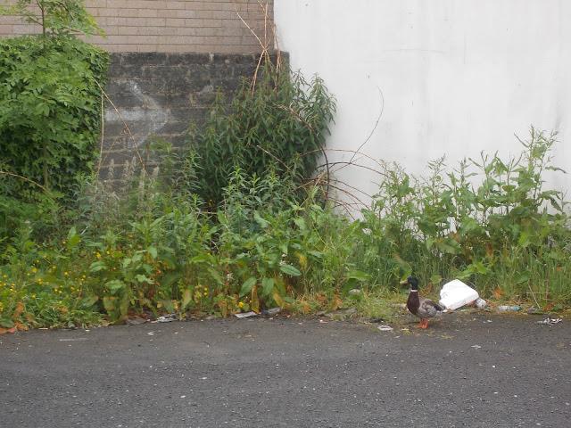 weekly reflect duck lisburn city northern ireland