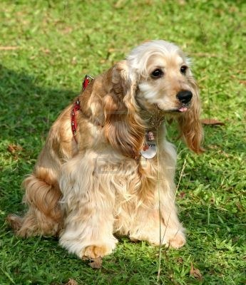 Cute Dogs: American cocker spaniel dog