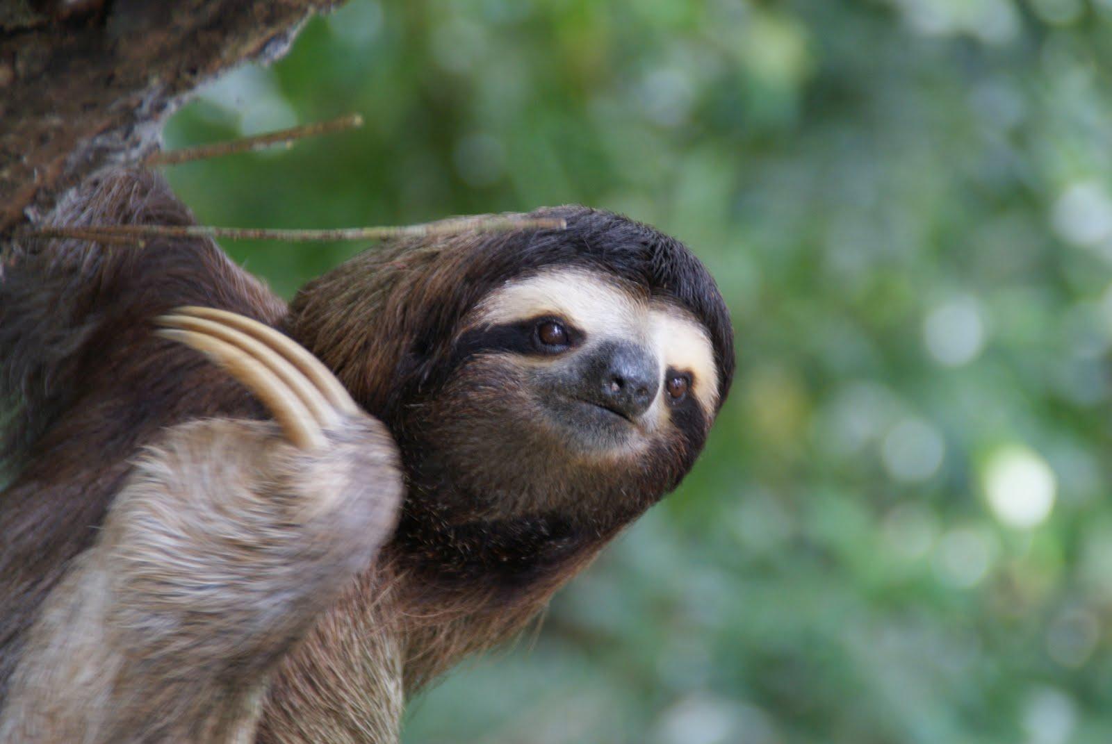 http://4.bp.blogspot.com/-EY_OTW6nMrY/TwwXqLGMUqI/AAAAAAAAAb4/DCth8agYyyw/s1600/Sloth+at+Cahuita+beautiful+animal+photo.JPG