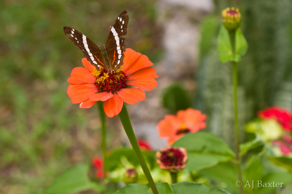 butterfly and flower, Caracol, Cayo District, Belize