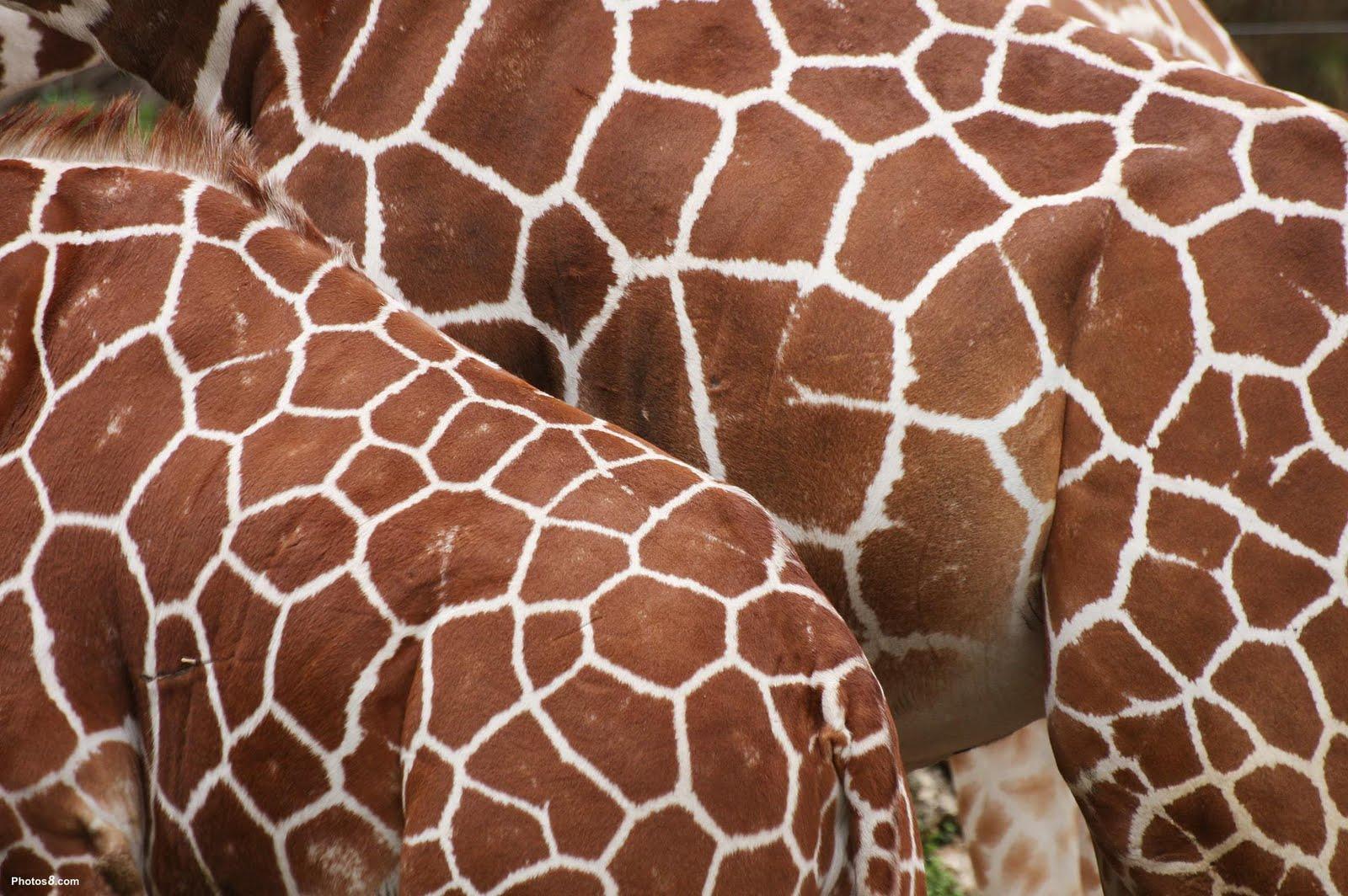 animal skin patterns giraffe - photo #13