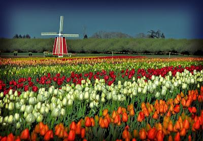 hoa tulip 20