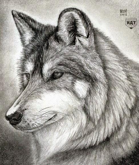 رسم ذئب بقلم الرصاص للمبتدئين Dz Fashion