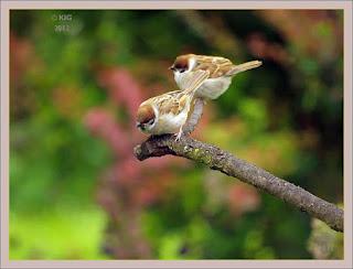 junge Spatzen am Ansitz zu einem Vogelbad