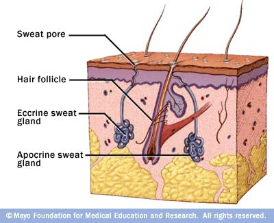 eccrine sweat glands