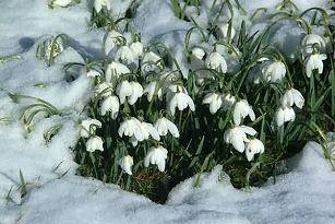 Un conte autour du perce neige