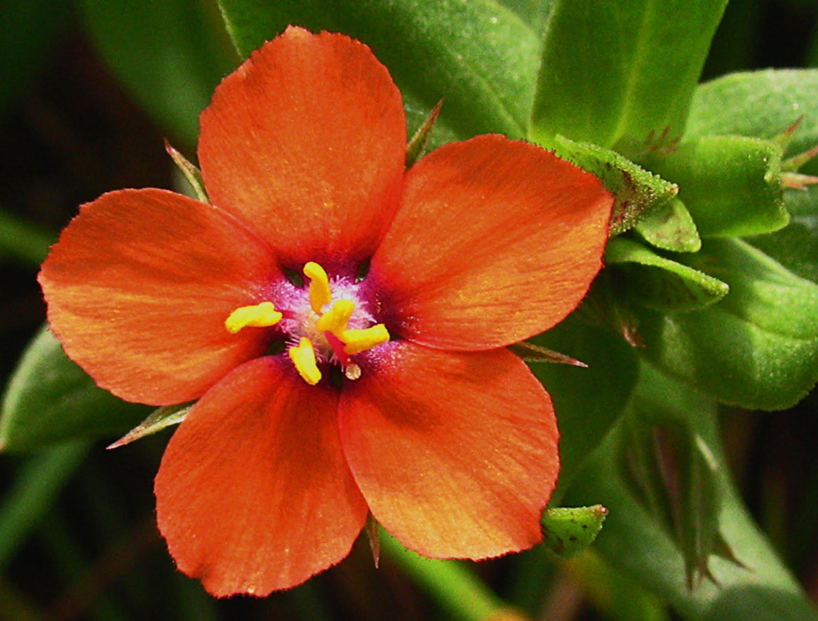 Nature My World: Scarlet pimpernel