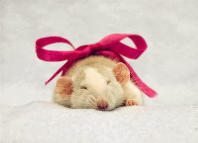 gambar hamster lucu - gambar hamster - gambar hamster lucu
