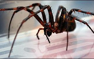 Laba-laba Sebesar Tikus Mulai Berkembang Biak di Inggris