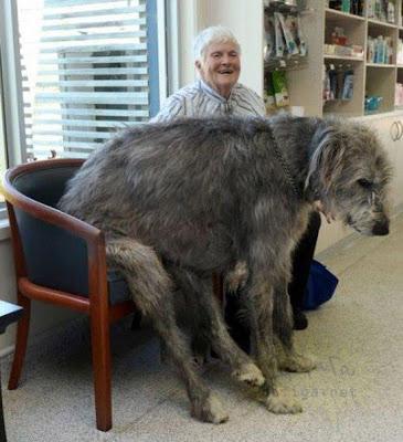 Самый большой пес