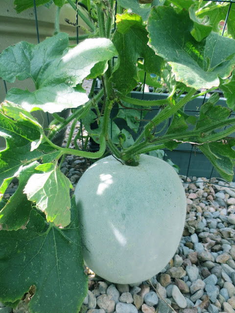 Container Grown Chinese Winter Melon 盆栽冬瓜