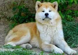 Jenis Anjing Akita Inu