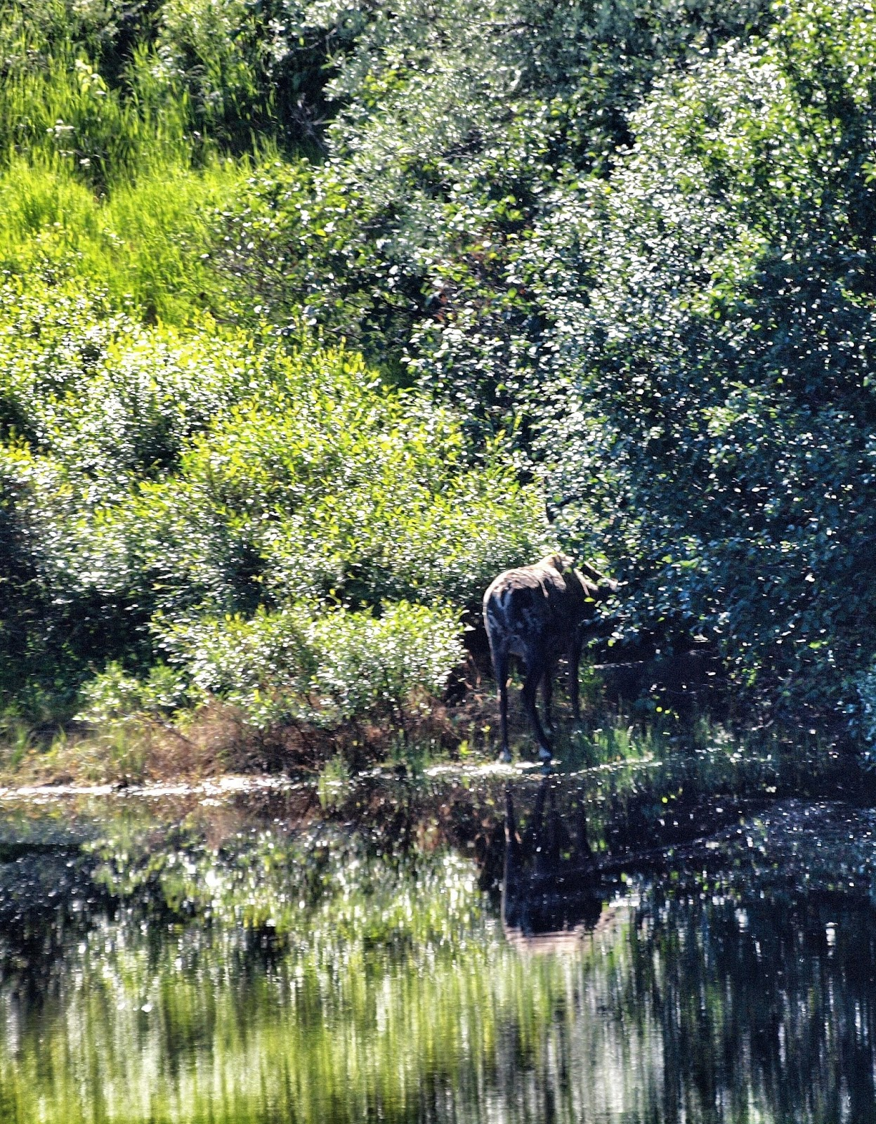 Moose Reflections, Denali, Alaska