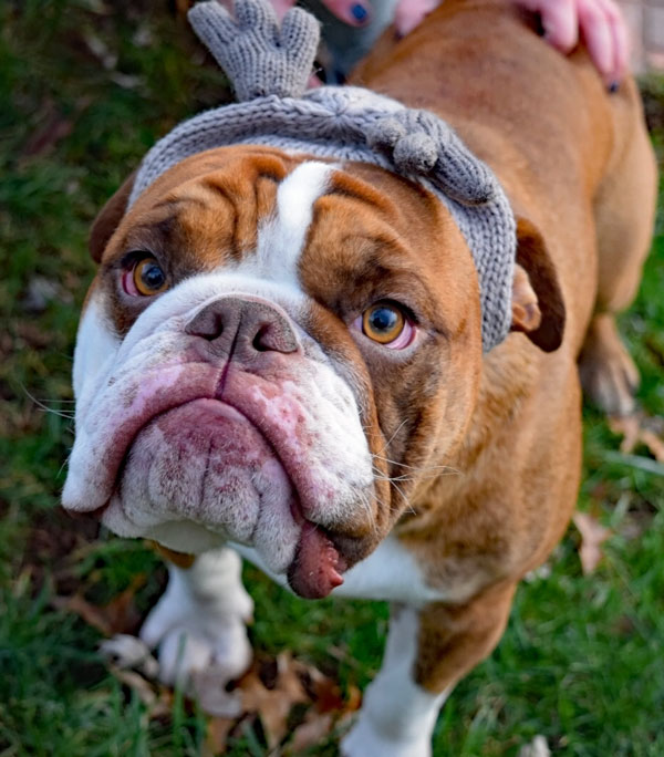 English_Bulldog