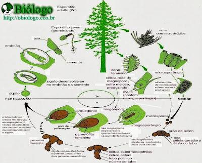 reprodução ciclo gimnosperma coniferophyta