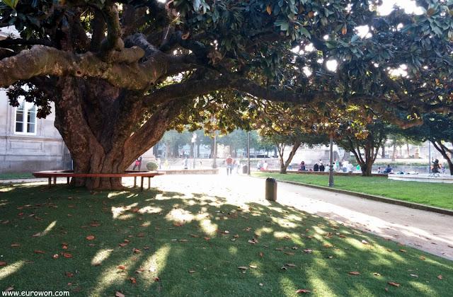 Árbol de un parque de Pontevedra