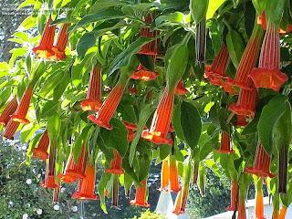 Angel's Trumpet, Bunga Cantik yang Mematikan