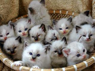 Gatitos blancos en una cesta