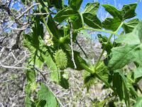 Wild cucumber on Warren Point Trail, Joshua Tree National Park