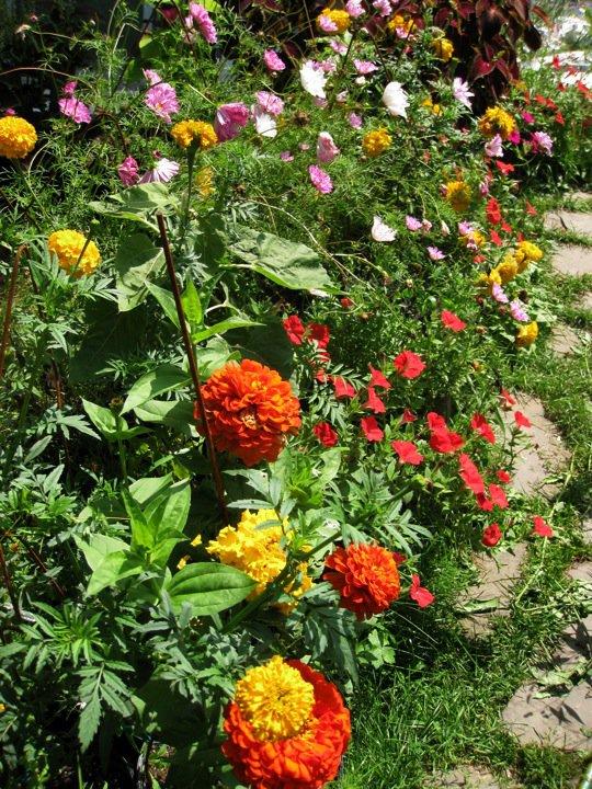 Backyard Organic Gardener: Zinnias, Cosmos, Marigolds, Petunias ...