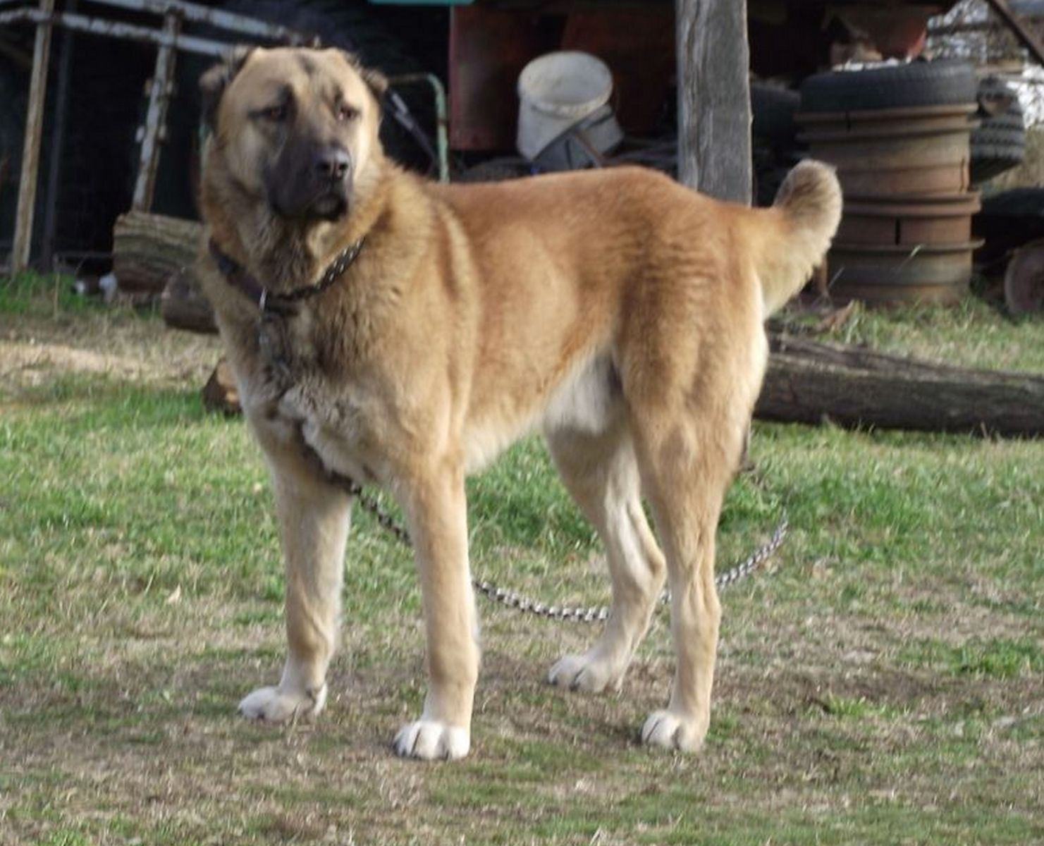 Afghan Shepherd Dog Breed