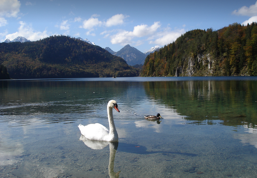 Alpsee Lake swan