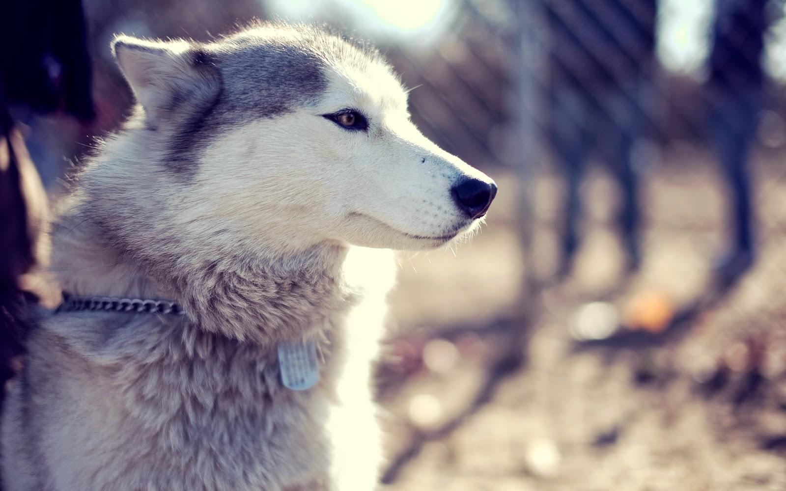 Husky-wallpapers-HD-3