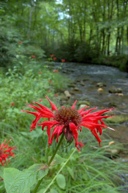 Bees Balm along Rough Fork in Cataloochee Valley