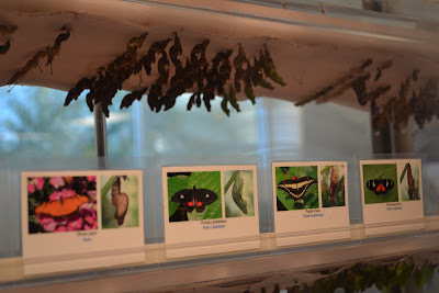 Chrysalides were labeled with a name and photo of the butterfly that they would become. 