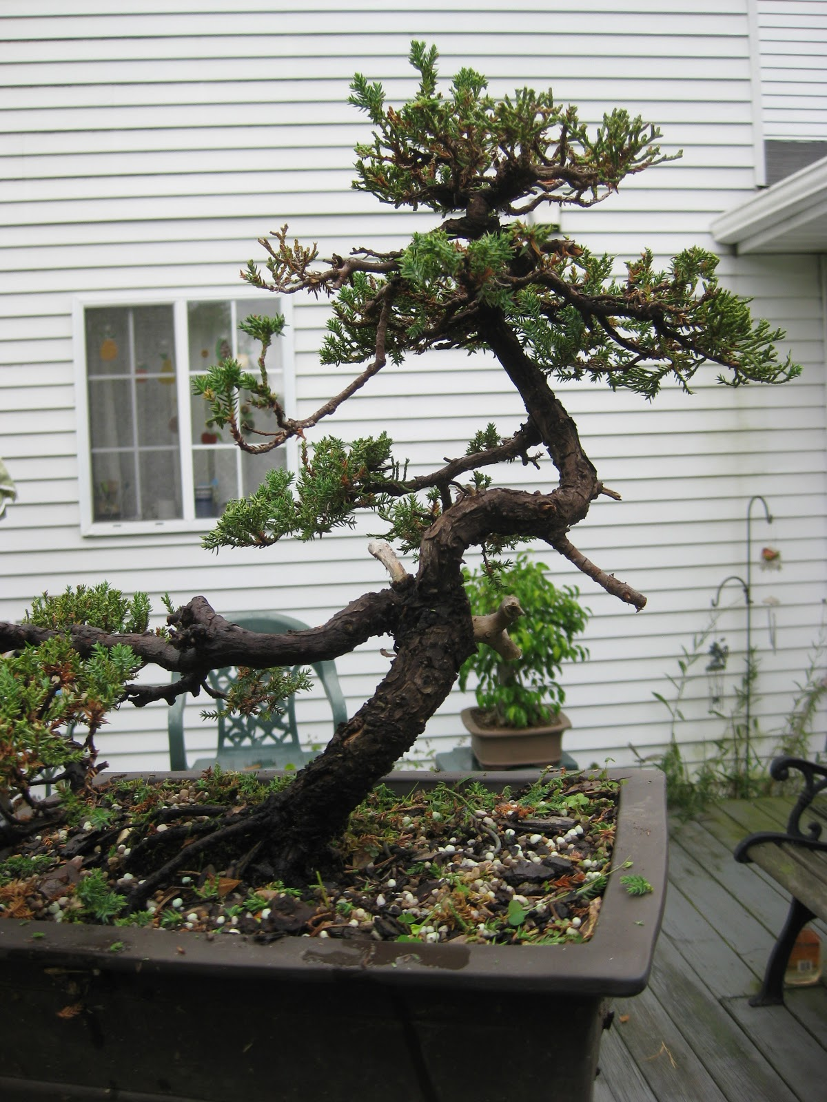 Akron Canton Bonsai Society First Bonsai