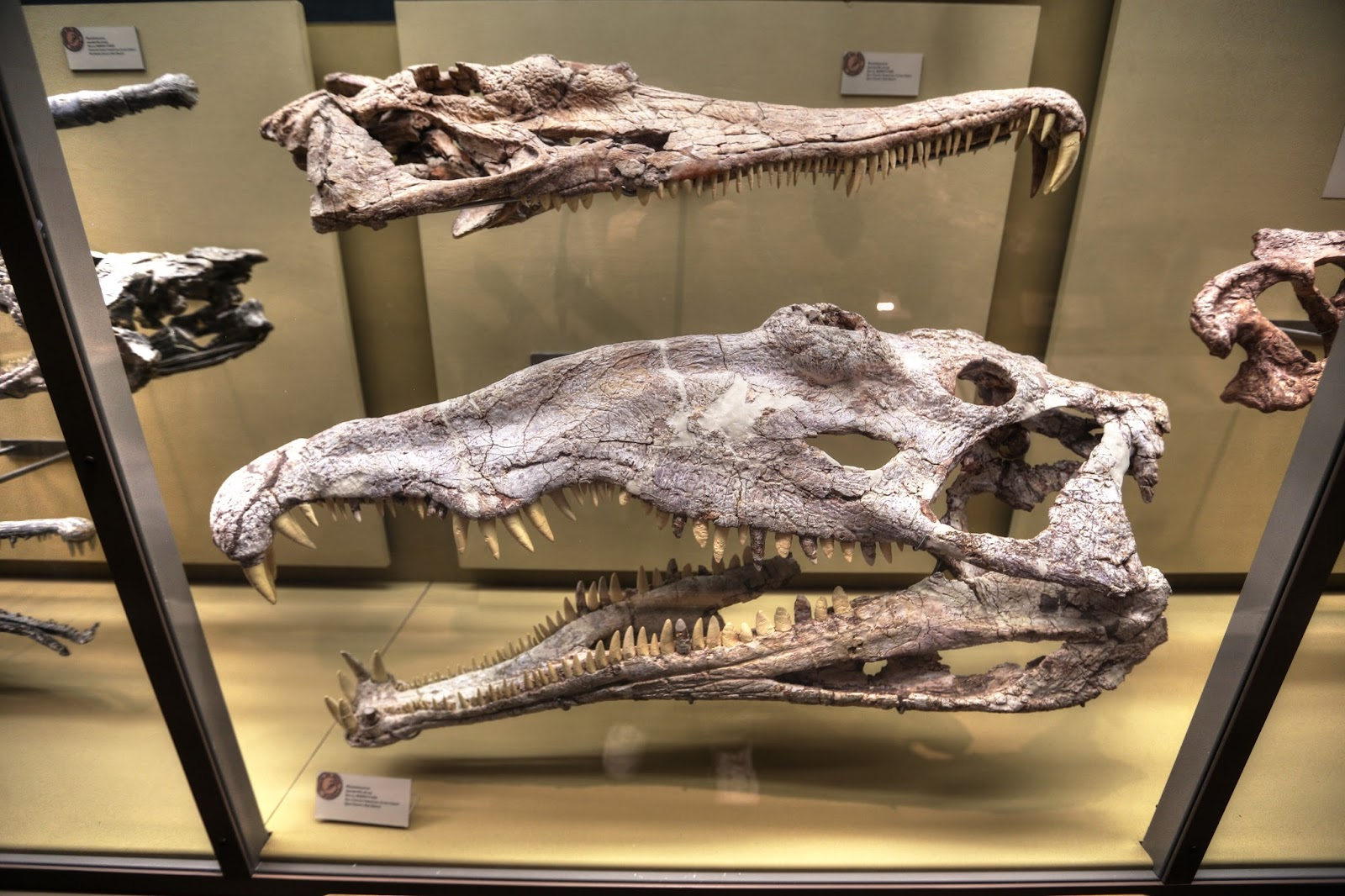 Green tea and velociraptors it s just a flesh wound - Machaeroprosopus Skulls At The New Mexico Museum Of Natural History Cc By 2 0 Created By Lee Ruk No Scale Is Provided But The Skull Is Certainly Longer
