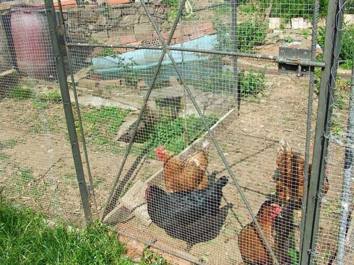 poules races espagnoles